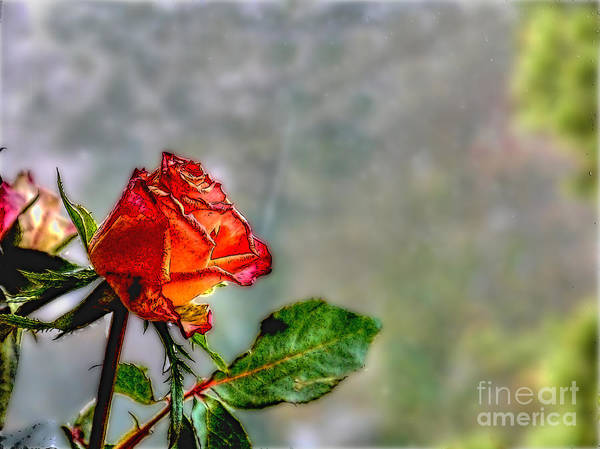 Photograph - Single Red Rose by Lance Sheridan-Peel