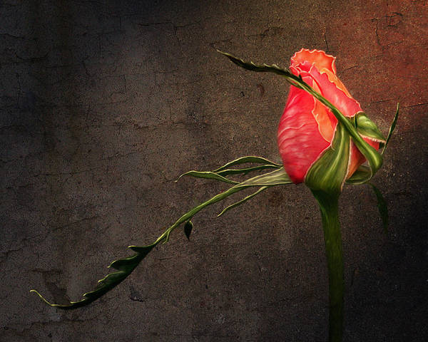 Digital Art - Single Rose by Ann Lauwers