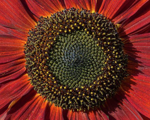 Photograph - Single Sun Flower by Pete Hemington