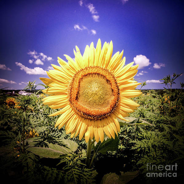 Photograph - Single Sunflower by Jim DeLillo