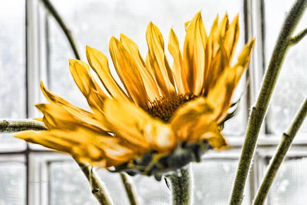 Photograph - Single Sunflower by Sharon Popek