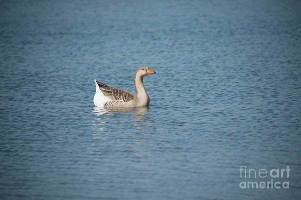 Photograph - Single Swimmer by Wanda Krack