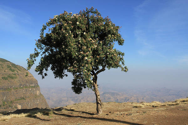 Photograph - Single Tree On The Simien Mountains  by Aidan Moran