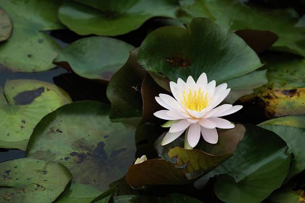 Photograph - Single White Pristine Lotus Lily by Dennis Dame