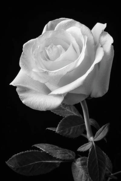 Wet Rose Wall Art - Photograph - Single White Rose Black And White by Garry Gay