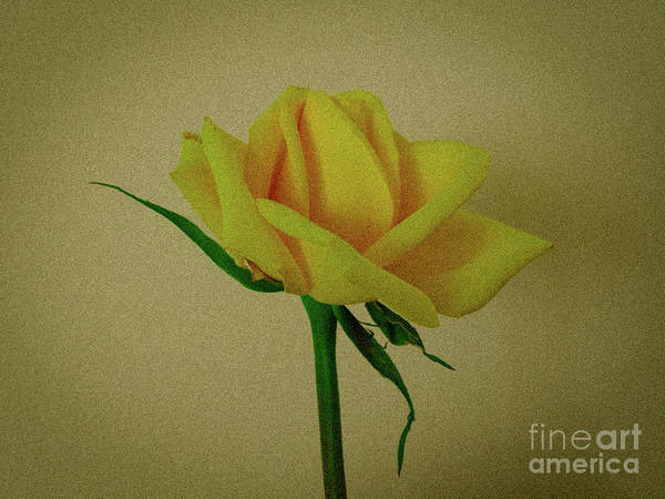 Photograph - Single Yellow Rose by Camille Pascoe