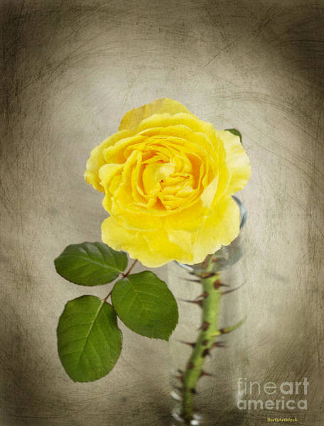Photograph - Single Yellow Rose With Thorns 2 by Roberta Byram