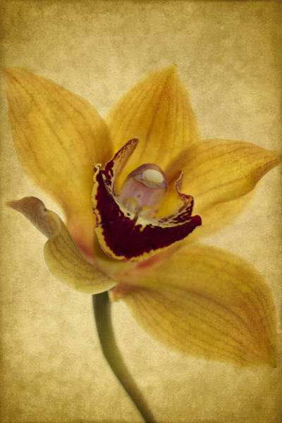 Orchid Photograph - Singular Sensation by Rebecca Cozart
