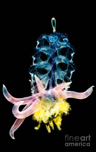Siphonophore Colony Art Print