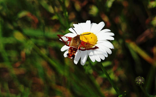 Hemaris Photograph - Sipping Nectar by Debbie Oppermann