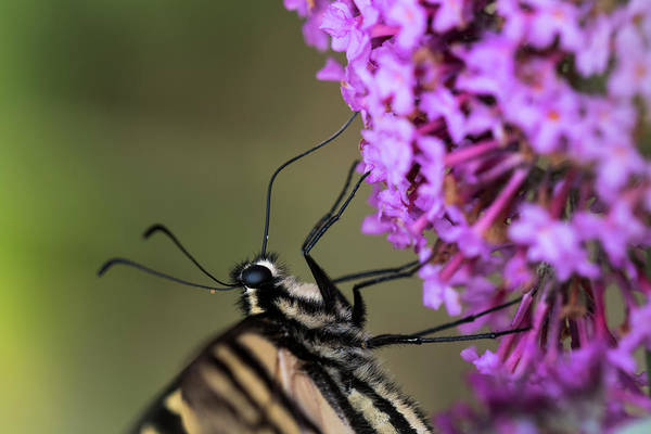 Photograph - Sipping Nectar by Robert Potts