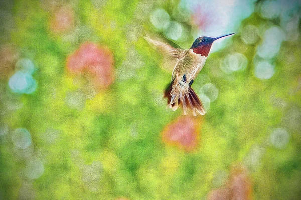 Photograph - Sir Ruby Throat - Hummingbird by Barry Jones