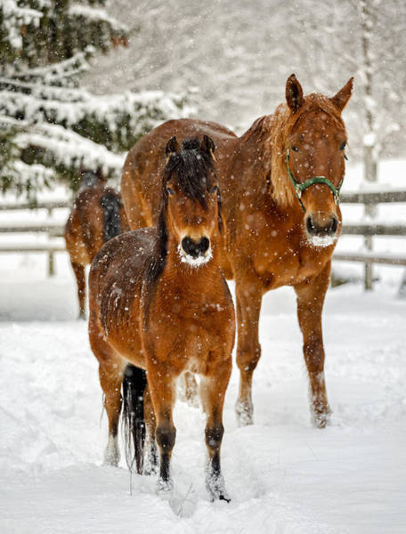 Henniker Wall Art - Photograph - Sire And Colt In Winter Snow by Scott Snyder