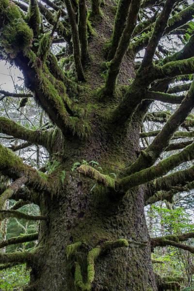 Photograph - Sitka Spruce Bole by Robert Potts