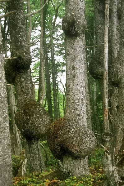 Photograph - Sitka Spruce Burls On The Olympic Coast Olympic National Park Wa by Christine Till