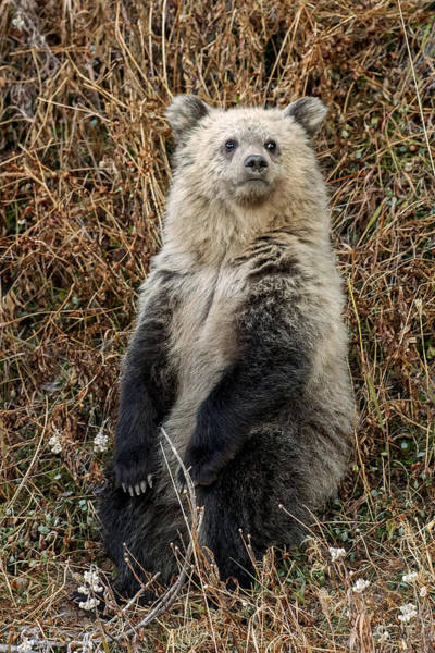 Grizzly Bears Photograph - Sittin' And Thinkin' by Sandy Sisti