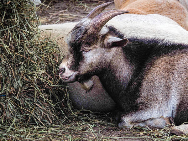 Photograph - Sitting Billy Goat by Robin Zygelman