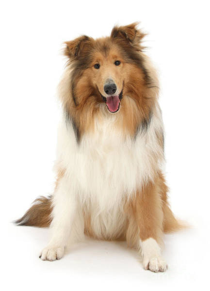 Photograph - Sitting Happy Collie by Warren Photographic