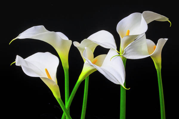 Design Photograph - Six Calla Lilies by Garry Gay