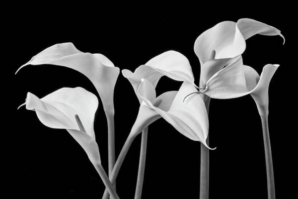 Calla Photograph - Six Calla Lilies In Black And White by Garry Gay