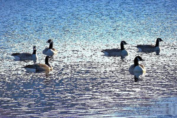 Photograph - Six Canadian Geese by Kim Bemis