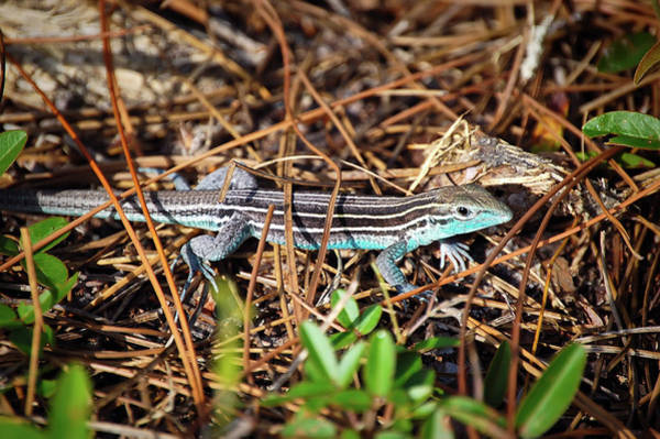 Wall Art - Photograph - Six-lined Racerunner by Rich Leighton