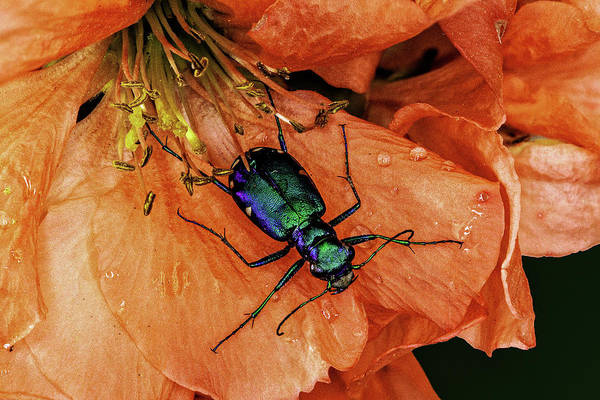 Photograph - Six Spotted Tiger Beetle by Gary Shepard
