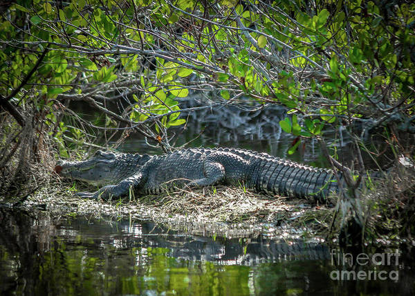 Photograph - Sizable Gator by Tom Claud