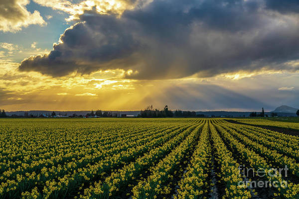 Wall Art - Photograph - Skagit Daffodil Fields Sunset Sunrays by Mike Reid