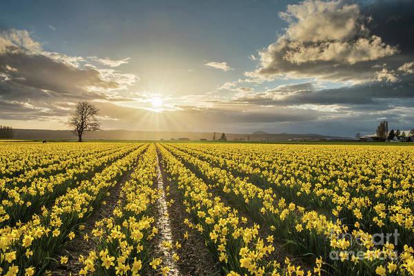 Mount Vernon Photograph - Skagit Daffodils Bright Sunstar Dusk by Mike Reid