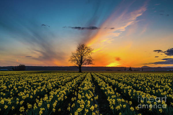 Wall Art - Photograph - Skagit Daffodils Feather Sunset by Mike Reid