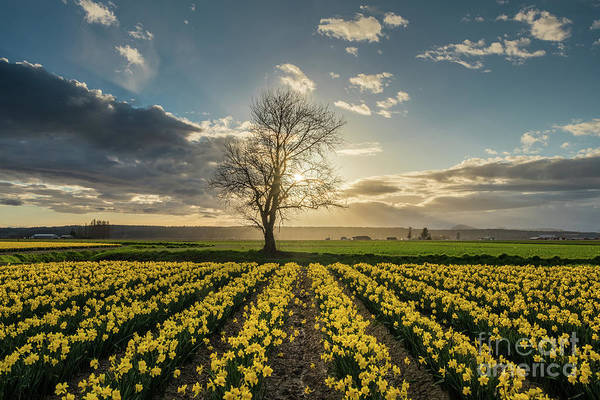 Mount Vernon Photograph - Skagit Daffodils Lone Tree  by Mike Reid