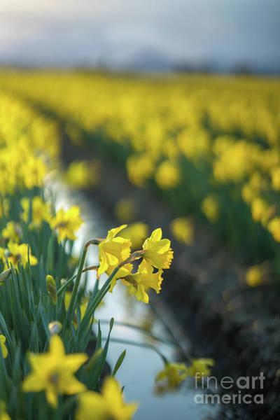 Wall Art - Photograph - Skagit Daffodils Sunlight by Mike Reid