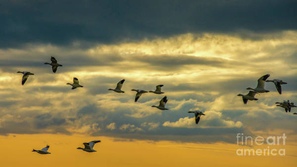 Wall Art - Photograph - Skagit Snow Geese On The Wing At Dusk by Mike Reid