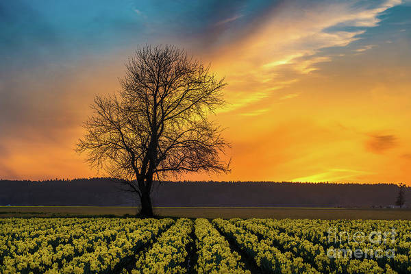 Wall Art - Photograph - Skagit Sunset Fiery Skies Over Daffodils by Mike Reid