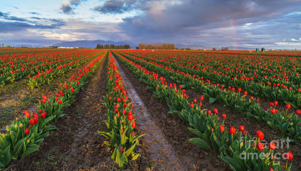 Wall Art - Photograph - Skagit Tulip Fields Red Rows And Rainbow by Mike Reid