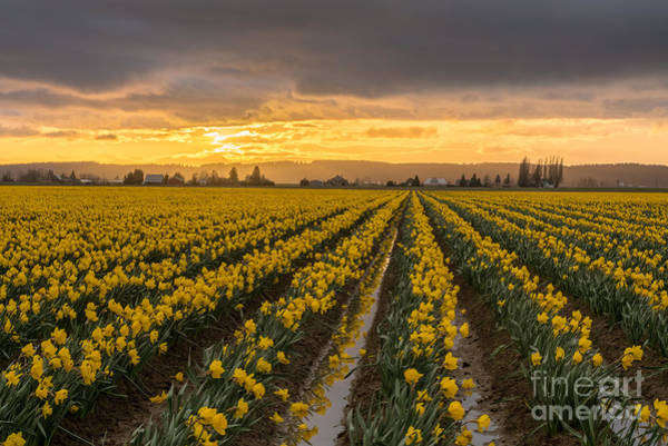 Wall Art - Photograph - Skagit Valley Daffodils At Dusk by Mike Reid