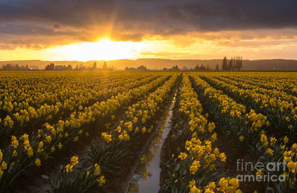 Wall Art - Photograph - Skagit Valley Daffodils Golden Sunset Light by Mike Reid