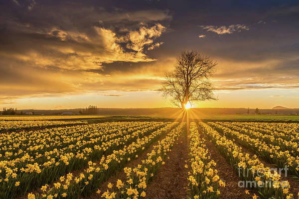 Wall Art - Photograph - Skagit Valley Daffodils Sunset by Mike Reid