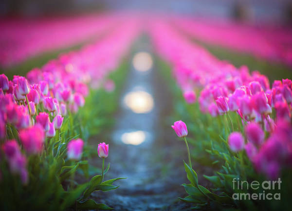 Wall Art - Photograph - Skagit Valley Tulip Festival A Pair Together In The Sun by Mike Reid