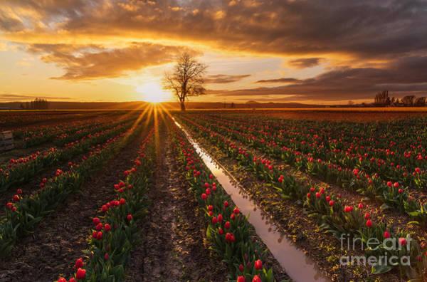 Mount Vernon Photograph - Skagit Valley Tulip Fields Golden Sunset Sunstar by Mike Reid