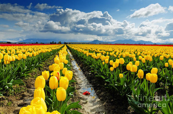 Photograph - Skagit Valley Tulip Fields by Beve Brown-Clark Photography