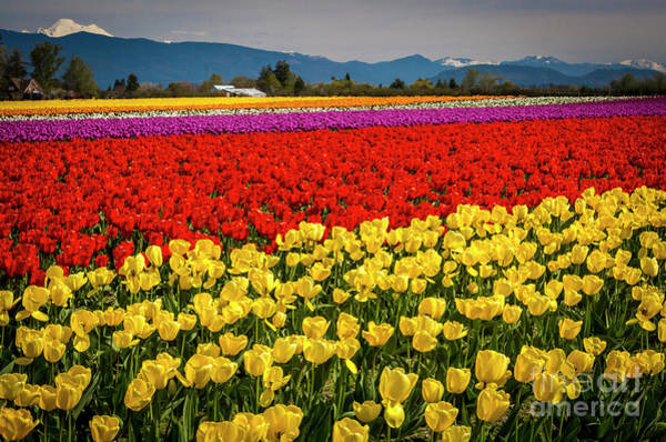 Photograph - Skagit Valley Tulips  by Sal Ahmed