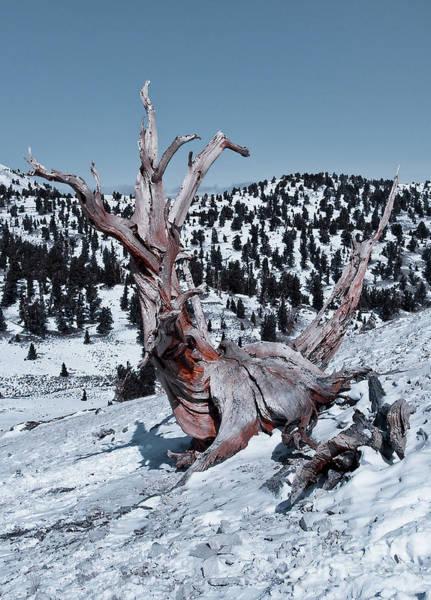 Photograph - Skating Pine by Mae Wertz