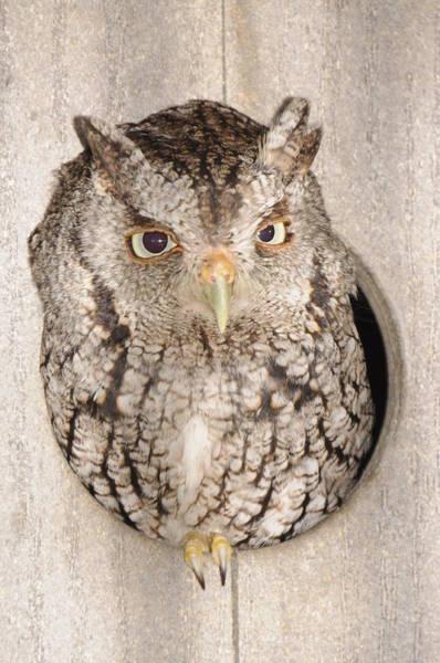 Skreech Owl Art Print