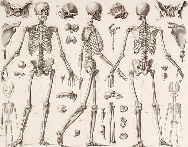 Skeletal Wall Art - Drawing - Skeletons by English School