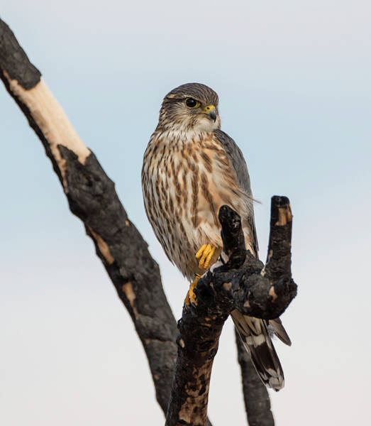 Photograph - Skeptical Merlin by Loree Johnson