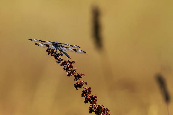 Photograph - Skimmer Dragonfly On A Copper Colored Plant by Belinda Greb