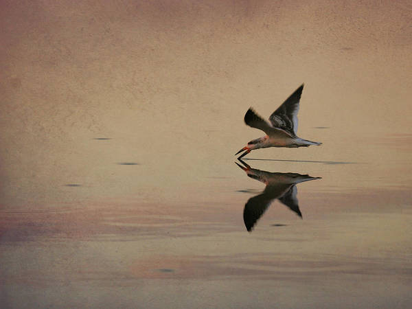 Photograph - Skimming by Charles McKelroy