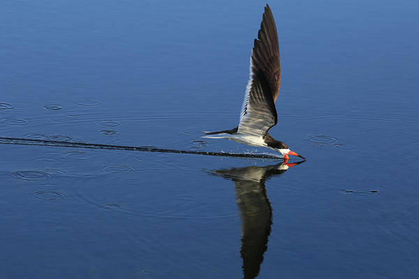 Skimmers Photograph - Skimming Off The Top by Donna Kennedy